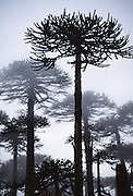 """Hear the warble of exotic birds as you walk through an enchanting Monkey Puzzle tree forest in Nahuelbuta National Park, Cordillera de Nahuelbuta, a coast range near Angol (north of Temuco), Chile, South America. Mysterious mists water a garden of yellow lichen draped over the trees. Branches form an umbrella of sharp leaves on a straight trunk which grows to over 100 feet high. Monkey Puzzle trees (Araucaria araucana) are conifers which are usually dioecious, where male and female cones grow on separate trees, though some individuals bear cones of both sexes. Its edible seeds (about 200 in each female cone) are similar to large pine nuts. Araucaria araucana, the national tree of Chile, is native to central and southern Chile and western Argentina. As the hardiest species of its genus, this tree has become popular in gardens. Unfortunately, due to logging, burning, grazing, and habitat conversion to Pinus radiata plantations, Araucaria araucana is listed as an endangered species by CITES (Convention on International Trade in Endangered Species of Wild Fauna and Flora). In France, the Monkey Puzzle tree is known as désespoir des singes or """"monkeys' despair."""" In the native Mapuche language, Nahuelbuta means """"big tiger."""" What international tourist literature calls the """"Chilean Lake District"""" usually refers to the foothills between Temuco and Puerto Montt including three Regions (XIV Los Ríos, IX La Araucanía, and X Los Lagos) in what Chile calls the Zona Sur (Southern Zone). In Chile, Patagonia includes the territory of Valdivia through Tierra del Fuego archipelago. Spanning both Argentina and Chile, the foot of South America is known as Patagonia, a name derived from coastal giants (""""Patagão"""" or """"Patagoni"""" who were actually Tehuelche native people who averaged 25 cm taller than the Spaniards) who were reported by Magellan's 1520s voyage circumnavigating the world."""