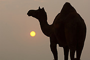 Camel at sunset at Pushkar camel and livestock fair which takes place in the Hindu month of Kartik (October / November) ten days after Diwali (Festival of Lights). Pushkar has always been the the region's main market for herdsman and farmers buying and selling camels, horses, indigenous breeds of cattle and even elephants. Over the years this annual trading event has increased in volume to become one of the largest in Asia. Temporary tents and campsites suddenly appear to accomodate the thousands of pilgrims, villagers and tourists. Entertainers and contests abound and a festive funfair atmosphere prevails over Pushkar during the Mela's 2 week duration. Thousands of men come first with their camels, horses and cattle and camp on the dunes to transact business. 3 days before the full moon the women arrive beautifully attired. The town of Pushkar is one of the holiest centers of Hinduism and houses one of the few Brahma Temples in India. It is one of the 5 essential pilgrimage centers which a Hindu must visit in his lifetime along with Badrinath, Puri, Rameshwaram and Dwarka. The 12 day fair culminates in a religious Hindu pilgrimage and reaches a crescendo on the night of the full moon (Purnima) when pilgrims take a dip in the holy lake.  <br /> Pushkar, Rajasthan. INDIA
