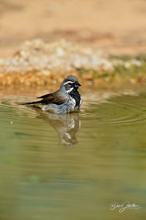 Black-throated sparrow (Amphispiza bilineata) Bathing at the waterhole, Rio Grande City, Texas, USA