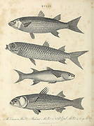 Mugil is a genus of mullet in the family Mugilidae found worldwide in tropical and temperate coastal marine waters, but also entering estuaries and rivers. Copperplate engraving From the Encyclopaedia Londinensis or, Universal dictionary of arts, sciences, and literature; Volume XVI;  Edited by Wilkes, John. Published in London in 1819