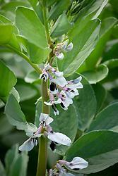 Broad Bean 'Aquadulce Claudia'. Vicia faba, Fava Beans.
