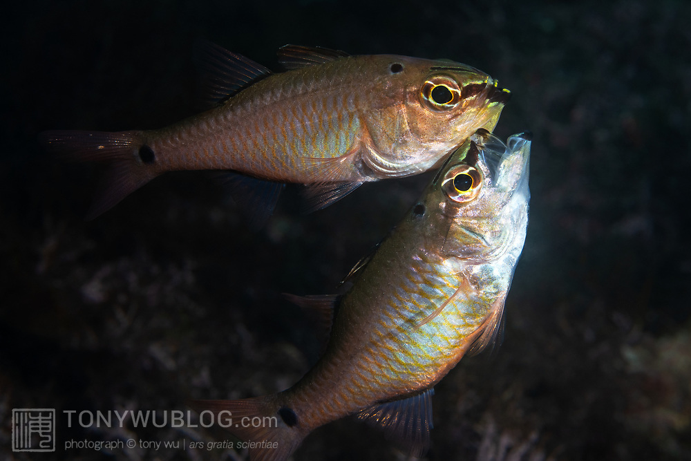 Pictured here is a pair of spotnape cardinalfish (Ostorhinchus notatus) moments after the transfer of fertilized eggs to the male's mouth during spawning. These fish are paternal mouthbrooders, meaning that the male holds the eggs in his mouth until they hatch. Females in this situation eventually leave the male, but they first exhibit an odd behavior after laying eggs. Shown here, the female (below) is engaged in what appears to be harassment of the male (above), which has their eggs in his mouth. The female chases the male, repeatedly appearing to target the eggs in his mouth. While avoiding these charges by the female, the male spits out and takes the eggs back into his mouth multiple times at blinding speed. The purpose of this post-spawning behavior is not clear. It appears almost as if the female is attempting to steal the eggs from the male.