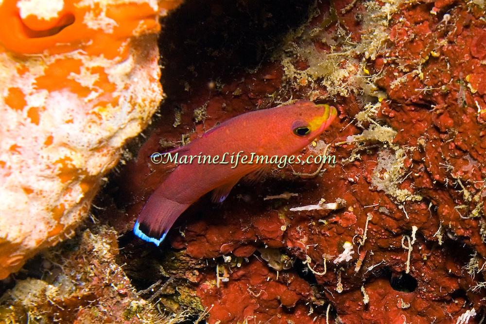 Cave Basslet hide in dark recesses in reefs and walls in Tropical West Atlantic; picture taken Utila, Honduras.