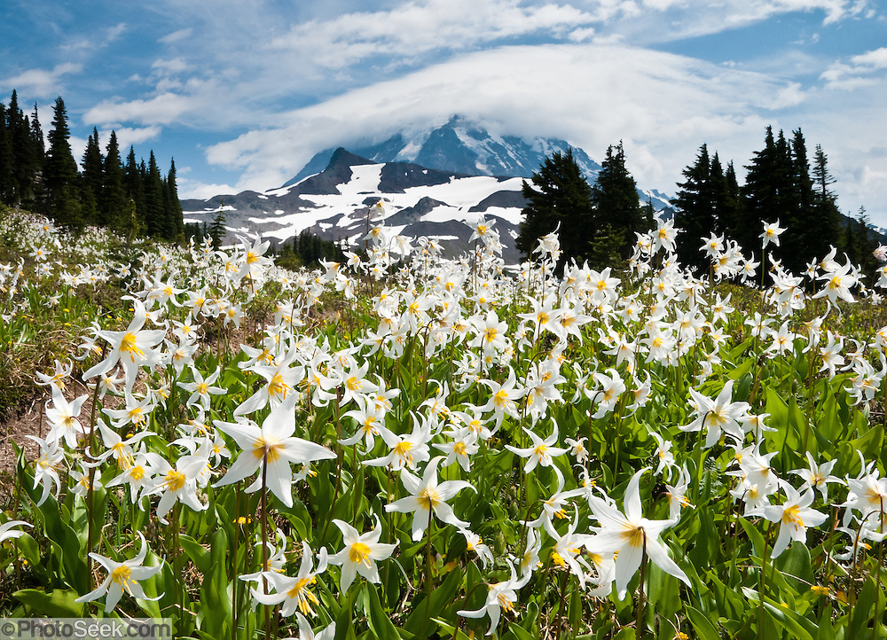 """The White Avalanche Lily is a member of the lily family native to coastal British Columbia and the alpine and subalpine Olympic and Cascade Ranges of the Pacific Northwest of North America. Its flower blooms as snow melts in late spring, in damp subalpine woodlands and alpine meadows, often in extensive patches. In the central Cascades, it often grows mixed with Clintonia uniflora and Trillium ovatum at the lower elevations of its range, and with Anemone occidentalis at higher elevations. Spray Park, Mount Rainier National Park, Washington, USA. Published in """"Light Travel: Photography on the Go"""" book by Tom Dempsey 2009, 2010."""