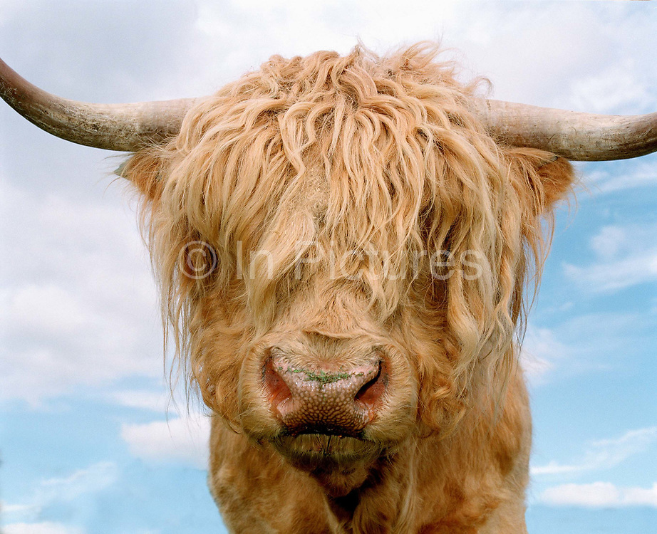 A portrait of a Highland cow, Nidderdale, North Yorkshire, UK