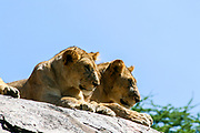 two alert and watchful Lionesses waiting on a rock. Photographed in Tanzania