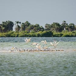 Bando de aves, nomeadamente andorinhas-do-mar e gaivotas, nos bancos de areia do Mussulo, Angola