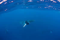 Dwarf Minke Whales (Balaenoptera acutorostrata) in the Ribbon Reefs inside the Great Barrier Reef. With Mike Ball's Dive Adventures and The Minke Whale Project (http://www.minkewhaleproject.org/). These rare whales seem to seek out boats and snorkelers and perform unique aquabatics like underwater spins, pirouettes and bubble blasts as well as breaching. Only seen in the GBR about 2-3 months a season.