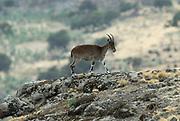 Walia Ibex, Capra walie, female, on steep mountain slope, Simien Mountains National Park, Ethiopia, Endemic, critically endangered, rare, IUCN Red List 2004