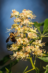 Bumblebee on Texas Buckeye Tree (Aesculus glabra var. arguta) in flower, Texas Buckeye Trail, Great Trinity Forest, Dallas, Texas, USA.
