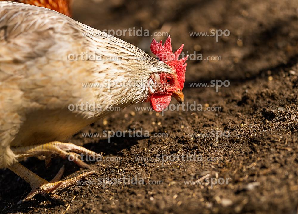 THEMENBILD - ein weißes Haushuhn in Freilandhaltung, aufgenommen am 18. April 2018 in Kaprun, Österreich // a white domestic chicken in a garden, Kaprun, Austria on 2018/04/18. EXPA Pictures © 2018, PhotoCredit: EXPA/ JFK