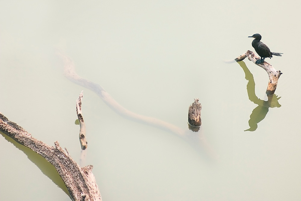 A neotropic cormorant (Phalacrocorax brasilianus) stands on a tree branch in the middle of an oxbow lake in the Manu National Park Reserve Zone, Peru.