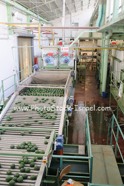 Computerized Avocado sorting and packing plant. Photographed in Israel washing and rinsing chamber