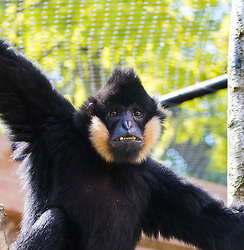 ZSL London Zoo, May 25th 2017.  A gibbon appears to pose for the camera during a photocall to promote ZSL London's newest exhibit, a treehouse style enclosure that will open to the public on Saturday 27th of May. The exhibit is home to duo Jimmy and Yoda, that will take people on a journey high into the Northern white-cheeked gibbon's (Nomascus leucogenys) treetop habitat, where they'll be able to watch the pair swing gracefully through a maze of branches and ropes.