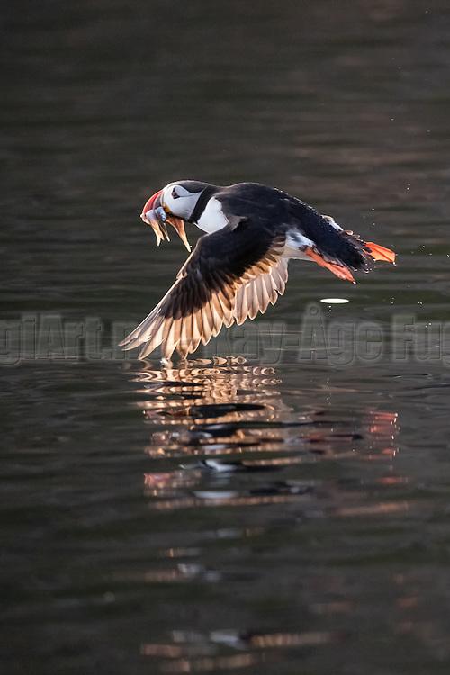 Puffin in flight with fish in it's beek   Lundefugl i flukt med fisk i nebbet