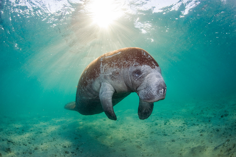 Endangered Florida Manatee (Trichechus manatus latirostris) photographed in the Lake Worth Lagoon in West Palm Beach, FL