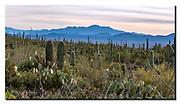 Cacti vegetation in Saguaro National Park, southern Arizona, USA. Nikon D500, 70-200mm @ 70mm (105mm in full frame), f10, EV+0.33, 1/200sec, ISO400, aperture priority