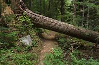 Large conifer log across Chilliwack River Trail North Cascades Nartional Park