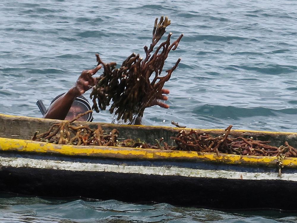Indígena guna recolectando algas / comarca de Guna Yala, Panamá.