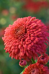 Chrysanthemum 'Evesham Vale'