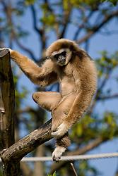 20.04.2011, Wien, AUT, Feature, im Bild Gibbon im Tierpark von Schloss Schönbrunn, EXPA Pictures © 2011, PhotoCredit: EXPA/ Erwin Scheriau