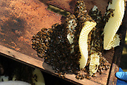 A bee keeper at his home in Buckinghamshire, England. Fresh honey comb.