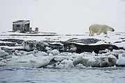 A polar bear (Ursus maritimus) walking past a trapper's cabin ,Svalbard, Norway