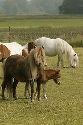 Foals and mares on the meadow in springtime<br /> Kieldrecht 2005<br /> Photo© Dirk Caremans