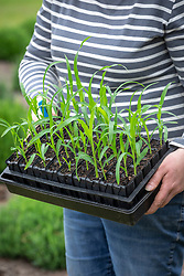 Holding a tray of Sweetcorn 'Lark' - Zea mays - ready to plant out.