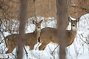 Adult Whitetail Doe and Fawn in WInter Habitat
