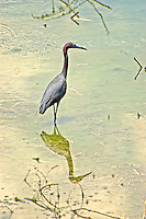 Little blue heron stalking minnows in a pond in Tallahassee, Florida.