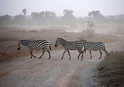 Zebras casually crossing road in the Ngorongoro Crater, Tanzania