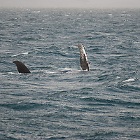 A humpback whale swims in the Drake Passage, north of Antarctica.