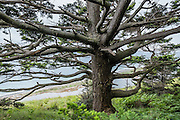 Twisty branches radiate from a tree trunk above a beach on the Samish Sea. Bluff Trail, Ebey's Landing National Historical Reserve, Whidbey Island, Washington, USA.