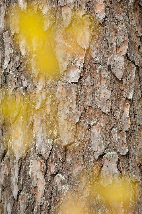 Pine, Pinus silvestris in Oulanka National Park, Finland.