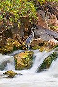 Great Blue Heron (Ardea herodias) in the Virgin River, Zion National Park, Utah