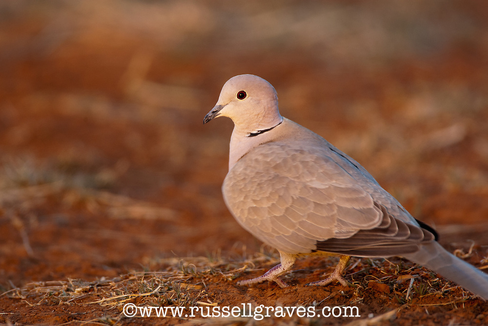 EURASIAN RINGNECK DOVE COLLARED DOVE RESTING ON THE GROUND