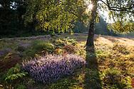 flowering common heather (Calluna vulgaris) in the Wahner Heath on Fliegenberg hill, birch tree, Troisdorf, North Rhine-Westphalia, Germany.<br /> <br /> bluehende Besenheide (Calluna vulgaris) in der Wahner Heide am Fliegenberg, Birke, Troisdorf, Nordrhein-Westfalen, Deutschland.