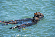 California sea otter or southern sea otter, Enhydra lutris nereis ( threatened species ) mother and pup share a meal of mussels that the mother has collected, Elkhorn Slough, Moss Landing, California, United States ( Eastern Pacific )