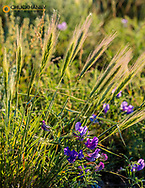 Milkvetch and foxtail barley at the American Prairie Reserve near Malta, Montana, USA