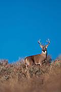 Whitetail deer (Odocoileus virginianus) Whitetail buck from western Wyoming