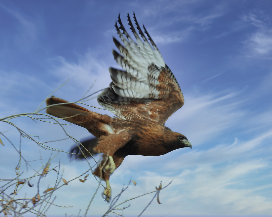 A hawk flying from its perch