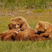 Alaskan Brown Bear (Ursus middendorffi) Mother nursing cubs. Katmai National Park. Alaska. Spring...Alaskan Brown Bear (Ursus middendorffi) Mother nursing cubs. Katmai National Park. Alaska. Spring.