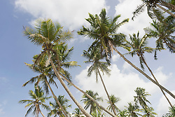 Palm trees on the beach against sky, Tangalle, South Province, Sri Lanka