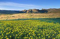 Golden Bee Plant (Cleome platycarpa), Succor Creek State Natural Area Oregon.