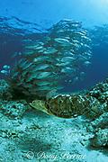 green sea turtle, Chelonia mydas , and bigeye jacks, Caranx sexfasciatus, in daytime refuging school, <br /> Sipidan Island, Borneo, Malaysia
