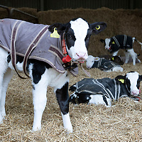 Calves in Jackets