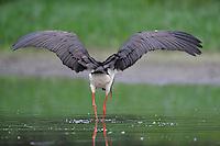 Black Storks River Elbe Germany; Biosphärenreservat Niedersächsische Elbtalaue; adult; Schwarzstorch; Black Stork; Ciconia nigra; Biosphere Reserve Middle Elbe