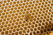 """23 APRIL 2007 -- FT. MCDOWELL, AZ: A honeybee backs out of a honeycomb in a beehive owned by Dennis Arp on the Ft. McDowell Indian Reservation about 50 miles from Phoenix, AZ. Arp has been a commercial beekeeper in Flagstaff, AZ, for more than 20 years. He said he lost almost 50 percent of his hives in the last year for no apparent reason. The syndrome has been termed """"Colony Collapse Disorder"""" and was first reported on the East Coast of the US last fall. Researchers do not know what is causing the disorder. Stress, parasites, disease, pesticides and a lack of genetic diversity are all being investigated. German researchers are also studying the possibility that radiation from cellphones is scrambling the bees' internal navigation systems.  Photo by Jack Kurtz"""