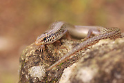 Chalcides ocellatus, or Ocellated Skink (also known as Eyed Skink or gongilo